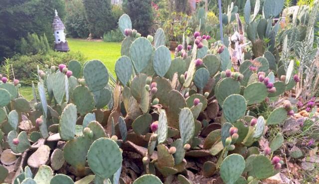 cactus pear jelly 2