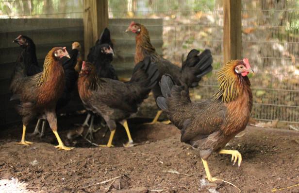 13 chickens 14
