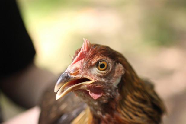 13 chickens 5
