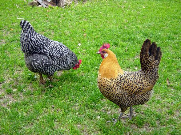 chicken 13