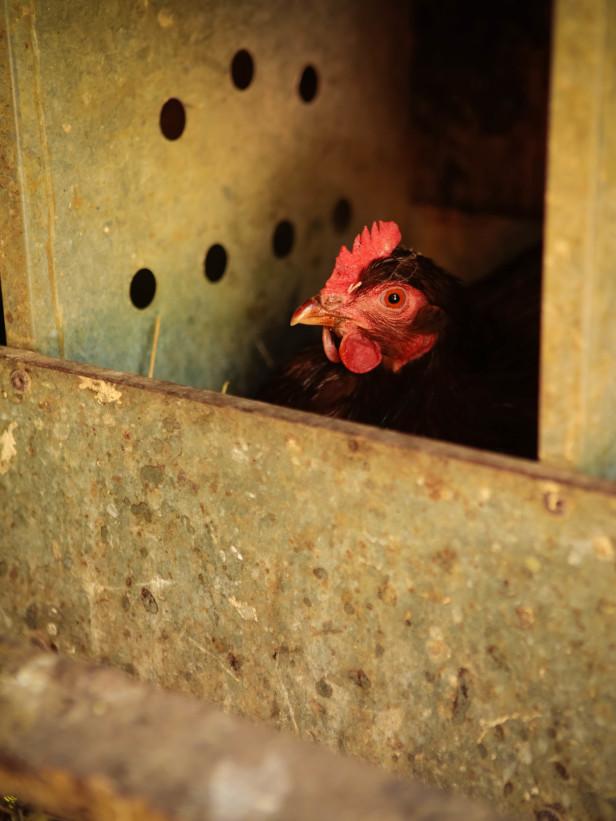 chicken 16