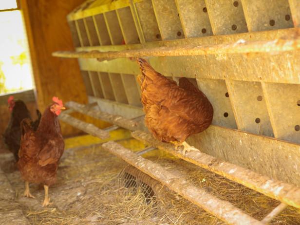 chicken 19