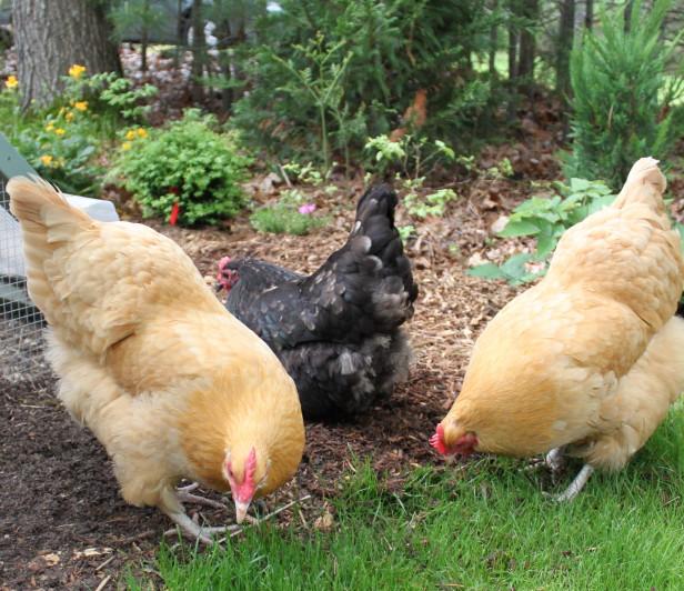 chicken 9